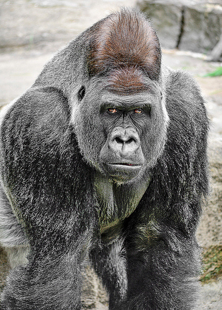 funnywildlife:  Silverback by MandyZPHOTOGRAPHY00 on Flickr.