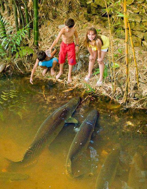 Arapaima, one of the largest freshwater fish in the world. we-earth
