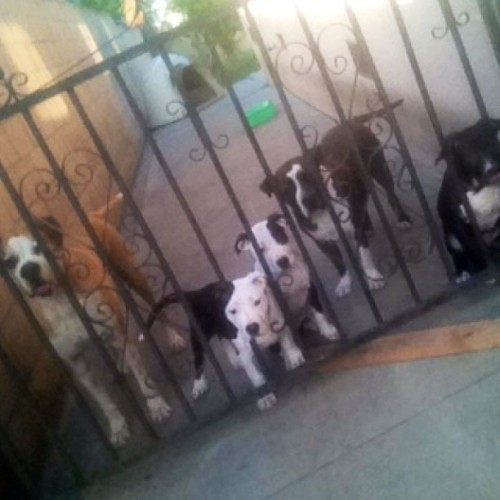 Too many dogs! 😍😍😍🙈 #Boxer #Pitbull #Dogstagram #Petstagram #Puppies #MansBestFriend