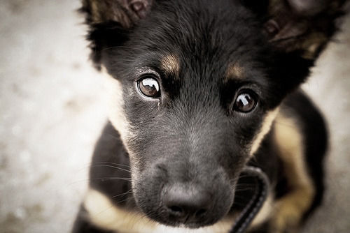 lovelyjubblyphotosets:  Requested by Anon ~ German Shepherds