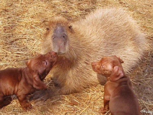 World's Largest Rodent Takes Care Of Dachshund Pups