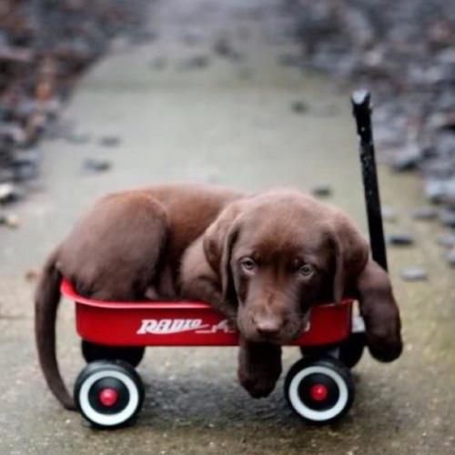 cute chocolate puppy lab