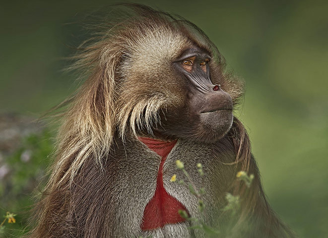 newsflick:  A male gelada, unique to the Ethiopian highlands and also known as a bleeding heart baboon. The bright red bleeding heart markings of the male indicates virility and attracts females whilst warning off rivals. [Photograph: Ian Llewellyn/BBC via the Guardian]  Great lads.