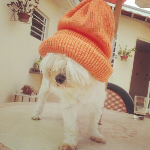 Fashion day.. #toca #linda #laranja #maltese #dog #cute #adorbs #fashion #orange #cap  (em Home sweet home)
