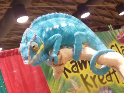 buggirl:  I went to the reptile expo today and have many critters to share!  Here is the first.  He was so blue, it was almost unbelievable!