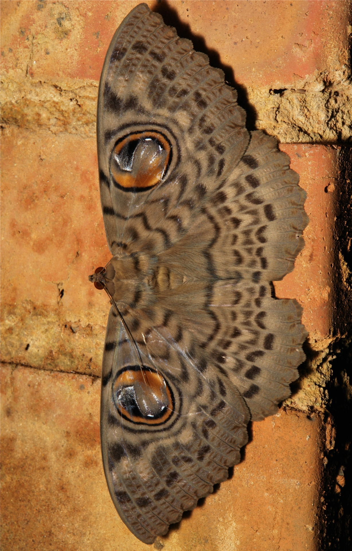 "insectlove:  sinobug: Noctuid Moths (Erebus macrops, Catocalinae, Erebidae). In Chinese folklore, legend has it that moths are human souls transformed. During Qing Ming (or Tomb Sweeping Festival) the souls will take the form of flying insects like butterflies and moths, to pay the living a visit. The hills of Pu'er are dotted with hundreds of graves, some in congregations, others you will come across out of nowhere as individuals. Until recently, it was permitted (or at least unchallenged) to choose a family burial site on a hillside with a view at your discretion. Most of these tombs comprise a monumental headstone and altar and are tended annually at Qing Ming and/or on the anniversary of the deceased's passing - the grave is cleaned, vegetation and weeds cleared, food offerings made and gaudy reflective decorations to deter evil spirits are erected. Here is my ""supernatural"" story. On one of the walking tracks I traverse regularly, is a pair of well-tended graves; one is a single, the other contains a couple. This past summer, on each occasion I passed, these mighty Erebus moths (they are as big as my hand) were in attendance. Always one on the single grave and two on the couple's grave (pictured), tucked away in a dark corner under the tiled eaves of the tombstones. ( I am not kidding you). I have always done my best not to disturb them as this is one ""myth"" I have come to respect. Occasionally though they flew away as I passed, yet obviously they return. Presumably over the span of the summer months, these cannot be the same individual moths and they invariably were in pristine condition, but regardless, it is sobering to think that the souls of the deceased are amongst us, and not too daunting to think they take the form of a noble moth. Pu'er, Yunnan, China. See more Chinese moths on my Flickr site HERE….."