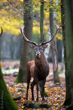 jaws-and-claws:  Autumn picture - deer in the wild by *Seb-Photos