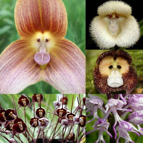 Monkey Orchids via I Fucking Love Science & Beware of Images on Facebook.
