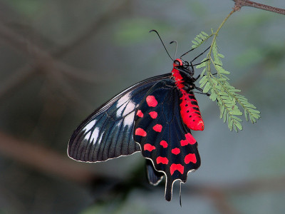 Crimson Rose butterfly - Pachliopta hector. Photo by Tarique Sani