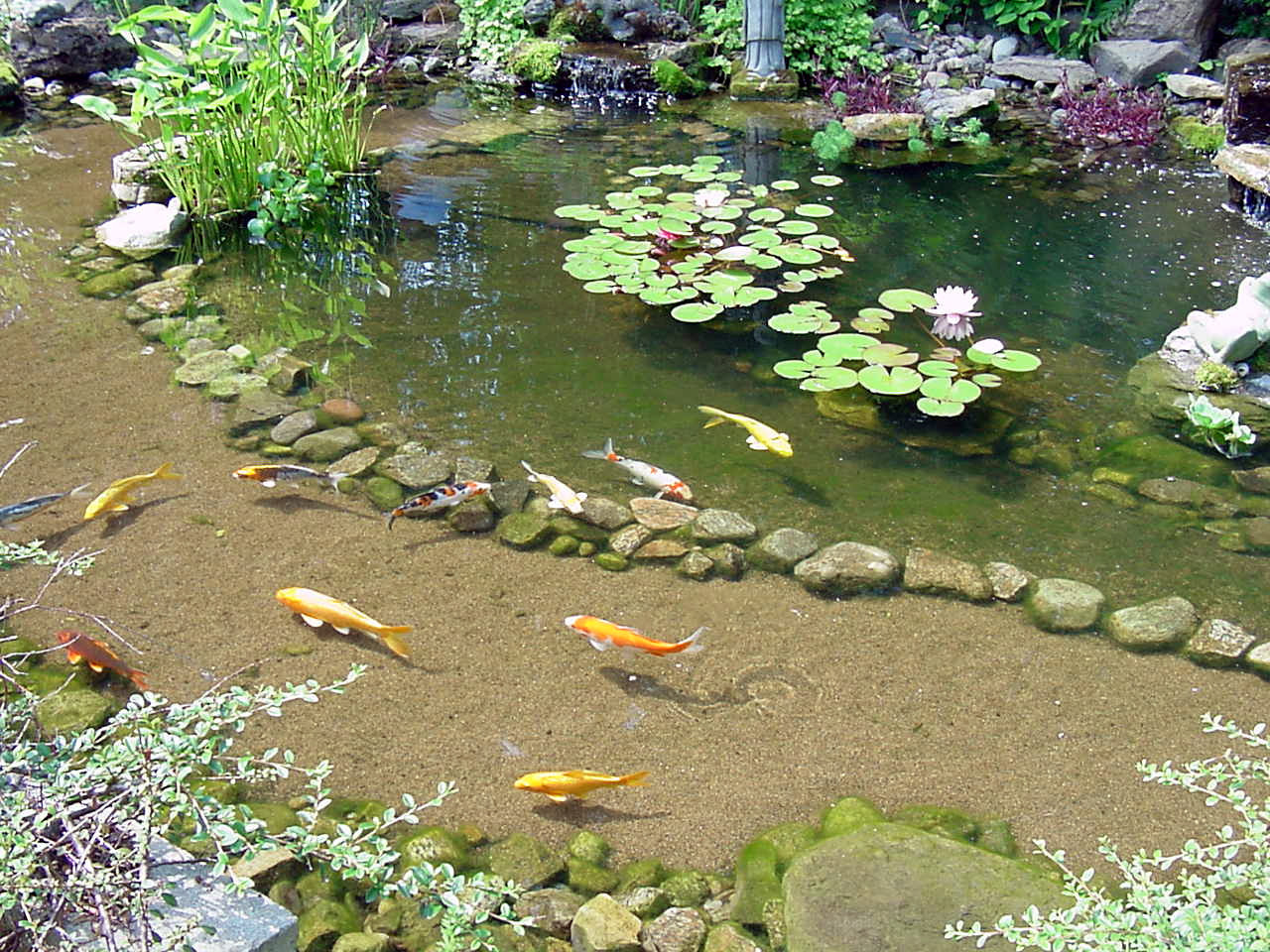 Fish art for Best goldfish for outdoor pond