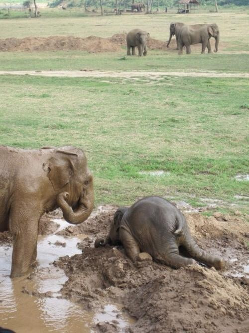 Baby elephant throwing a temper tantrum.