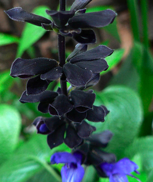 needsmorepanda:  'black & blue' anise-scented sage, part of the salvia family, smells like licorice