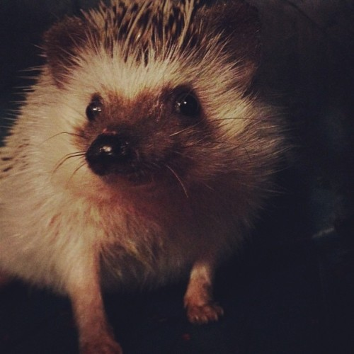 My favorite little booger #hedgehog