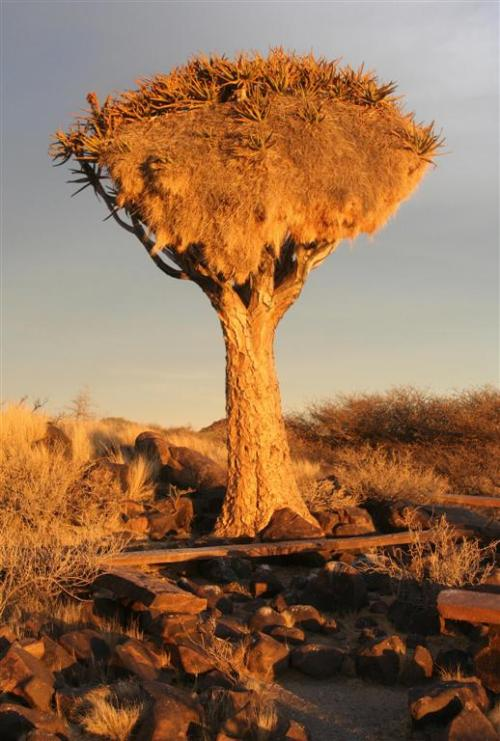 Sociable Weavers' Nest in Quiver Tree at Sunset.Blog Post