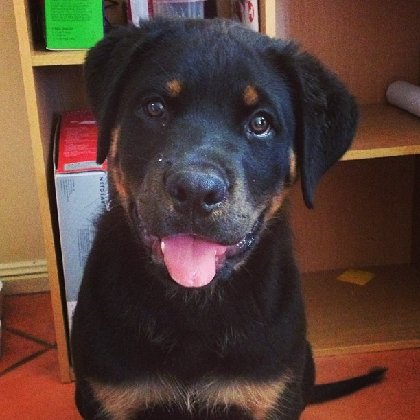 Daily cute! #puppy #Rottweiler #duke #instadog