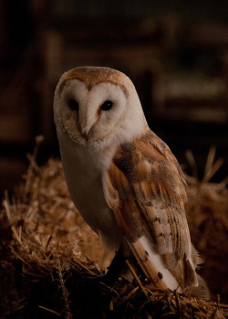 whimsical-nostalgia:  theanimaleffect:  Barn Owl by Des. White on Flickr.      I fricken love barn owls!!!