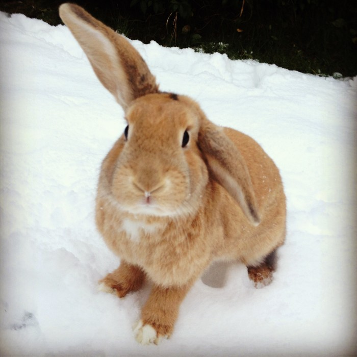 dailybunny:  Bunny Keeps an Ear up to Listen for Snow Bunnies Thanks, Kristy!