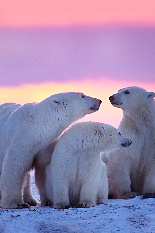 vurtual:  Polar bear with yearling cubs(by hslf519)