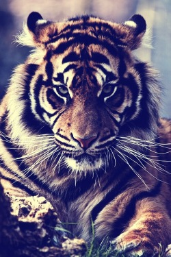 emilanton:  Tiger   Beautiful