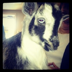 Look what came into work the other day. Hehe soooo cute #pet #goat