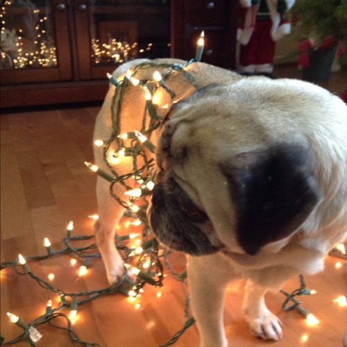 Clumsy puggie is all wrapped in Christmas spirit! (via wibblywobblyood)