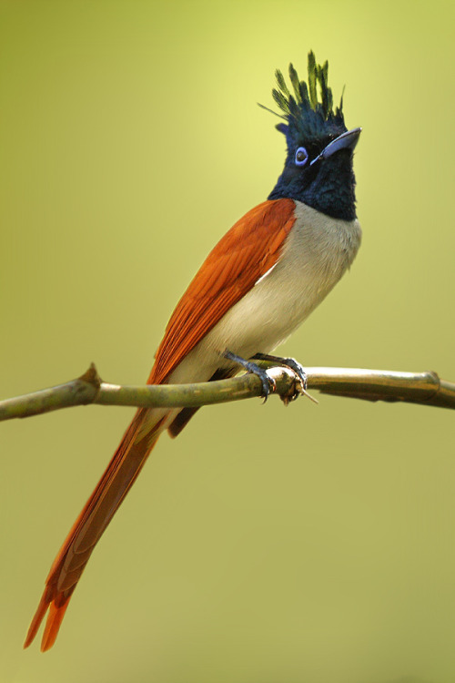 fairy-wren:  asian paradise flycatcher (photo by sharad agrawal)