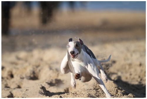 Mach Speed Whippets