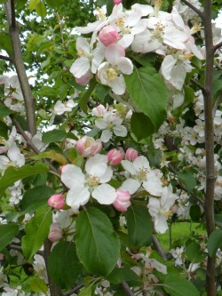 Apple Blossom, Mancetter, Leicestershire, England All Original Photography by http://vwcampervan-aldridge.tumblr.com