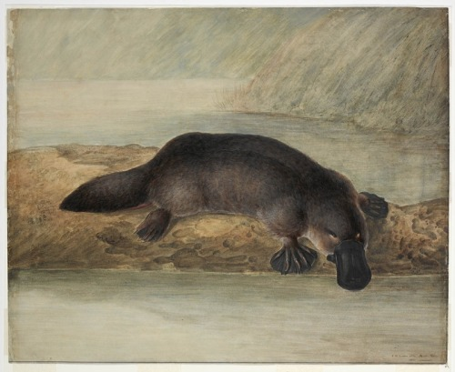 A watercolour drawing of a Platypus, 1810. When first encountered by Europeans, a pelt and sketch was sent back to Great Britain for analysis. As the specimen was so unusual, it was though to have been a hoax created by Chinese taxidermists who were known for their skill in creating fantasy animals. It was thought that a duck and a beaver had been used to construct the animal. The first specimen was damaged by scissors in an attempt to find stitch marks. Indigenous Australians considered the Platypus to be a hybrid formed from the pairing of a female duck with a water rat and also knew the female Platypus laid eggs while the male had venomous talons. Traditional names for the Platypus were Mallangong and Tambreet in New South Wales but Dulaiwarrung in Victoria.