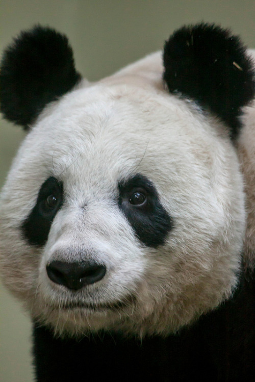 vurtual:  Tian Tian Portrait (by CMGW Photography)