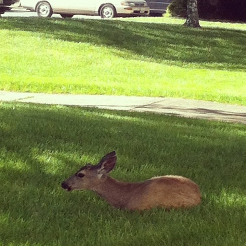 Definitely a legless deer outside of my room #onlyatsmc #hellonature #nolegs