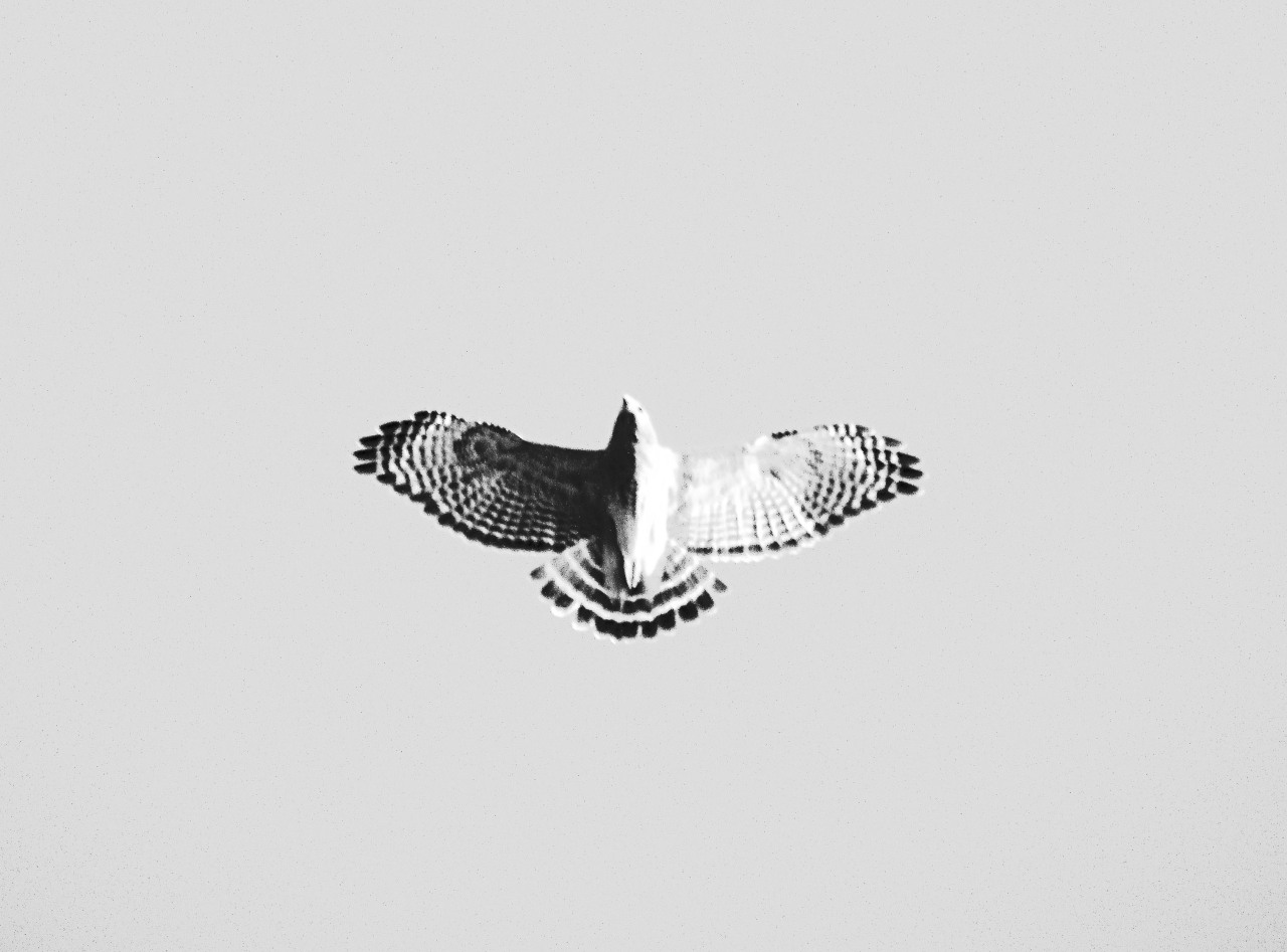 capturedbysam:  Hawk