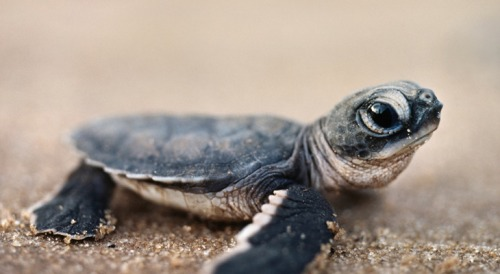animals cute baby animals turtles turtle cute animals cute baby animals baby turtle sea turtle baby turtles sea turtles baby sea turtle baby sea turtles