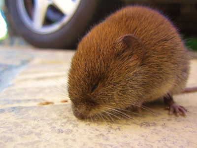 Bank Vole, taken/owned by jimothygalloway