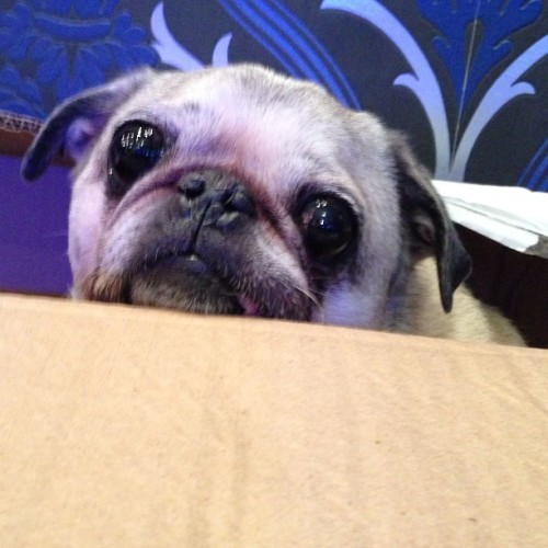 Very depressing living in a box #lol #pugface #adorable #pug