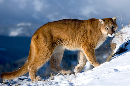 animals-animals-animals:  Puma (by catman-suha)