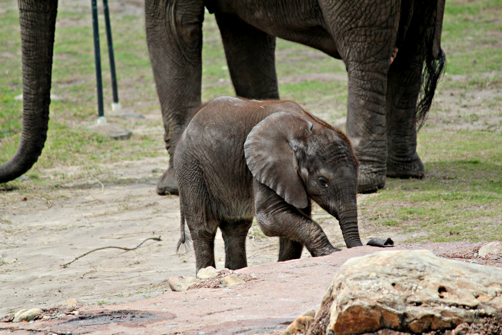 ccrazydaisy:  Baby Elephant, took this last week @ Lowery Park Zoo.  Sooo much cuteness <3