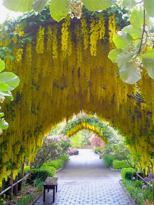 visitheworld:  The Laburnum arch, Whidbey Island, Washington, USA (via Sam Hahn).