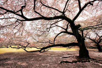 japanlove:  Dreaming of Sakura by arcreyes [-ratamahatta-] on Flickr.  I want to go to there