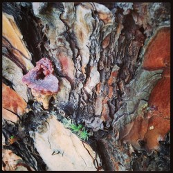 Sugar Pine bark (at Historic Ark Row)