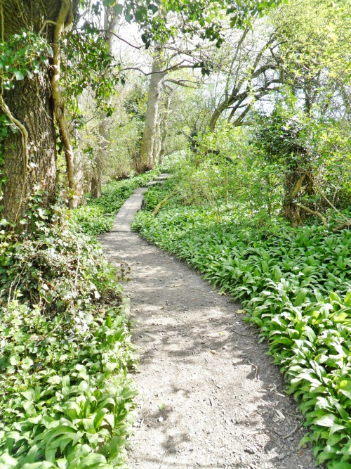 Footpath through a carpet of Wild Garlic, The Dingle Woods, Aldridge, Walsall, England All Original Photography by http://vwcampervan-aldridge.tumblr.com