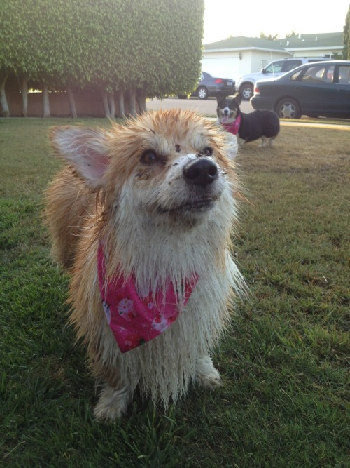 corgiaddict:  twosillycorgis:  Why you mad mom?  The joys of fluffy corgi ownership