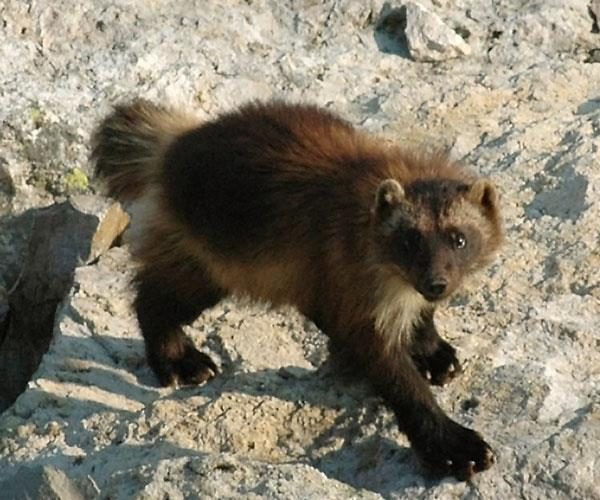 "rhamphotheca:  Good News:  Wolverine in United States May Get Protection Under Endangered Species Act by Douglas Main Currently, fewer than 300 wolverines reside in the continental United States, according to various estimates. In February, the U.S. Fish and Wildlife Service proposed listing the animal as ""threatened"" under the Endangered Species Act, which would help protect the animal and its dwindling habitat. A total of 25 environmental groups from the West have called on the agency to go through with this decision, which will come soon after the agency's deadline for accepting public comments on the proposed decision on May 6, according to The Spokesman Review… (read more: Live Science)                 (photo: Mark Packila, WCS)  Honey badger don't care!"