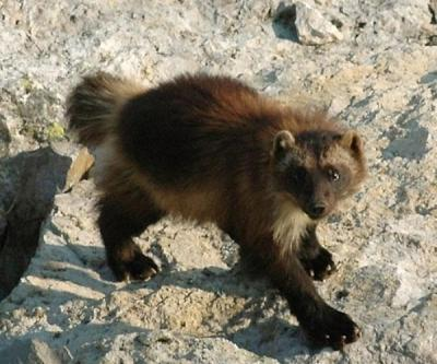 "rhamphotheca:  Good News:  Wolverine in United States May Get Protection Under Endangered Species Act by Douglas Main Currently, fewer than 300 wolverines reside in the continental United States, according to various estimates. In February, the U.S. Fish and Wildlife Service proposed listing the animal as ""threatened"" under the Endangered Species Act, which would help protect the animal and its dwindling habitat. A total of 25 environmental groups from the West have called on the agency to go through with this decision, which will come soon after the agency's deadline for accepting public comments on the proposed decision on May 6, according to The Spokesman Review… (read more: Live Science)                 (photo: Mark Packila, WCS)  This is definitely a small step in the right direction if the wolverine does get 'endangered' status. For anyone paying attention, this is a great follow up to my post about Montana and restraining orders against Fish, Wildlife and Parks, which I posted last December."