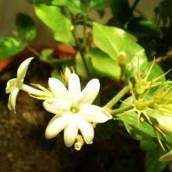 یاس رازقی من هم به داره گل میده. عطری دارد که مپرس #flower #jasmine #white #plant #leaf #leaves #scent #smell #wooden #window #soil #iran #tehran #persian #spring #garden #beautiful #beauty #branch #nature #natural