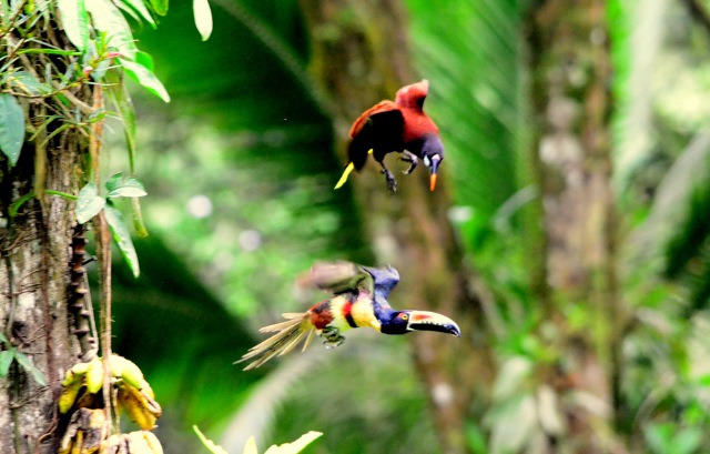 fairy-wren:  Aracari and Oropendola  (Photo by Brent van Hooft)