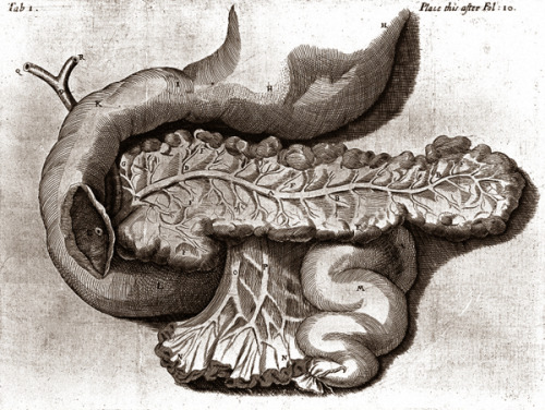 neuraldamage:  Illustration of the pancreas, from De Succo Pancreatice: or A physical and anatomical treatise of the nature and office of the pancreatic juice, by Reiner de Graaf, 1676