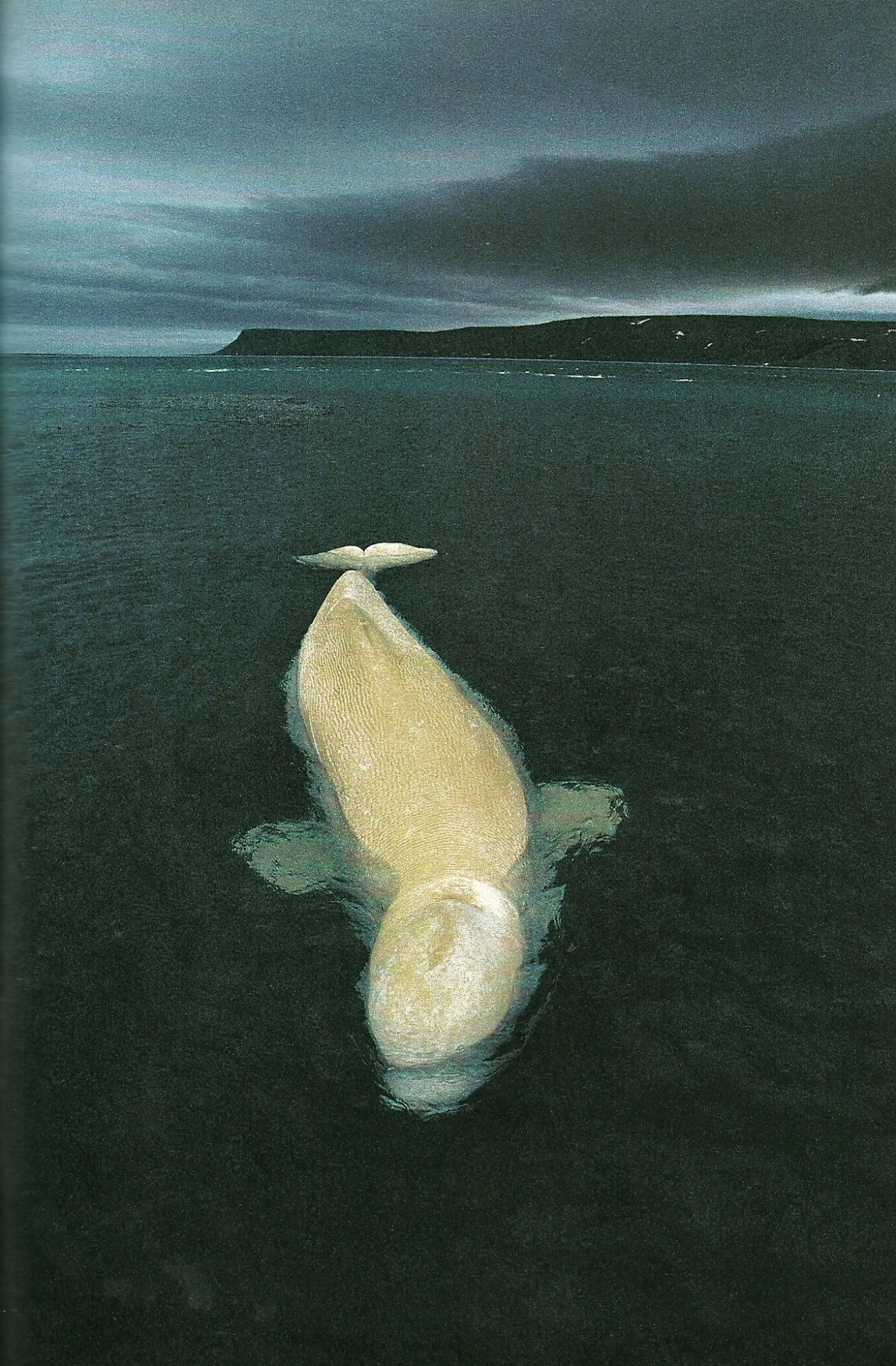 vintagenatgeographic:  Female beluga whale in Cunningham Inlet, Canada National Geographic | June 1994