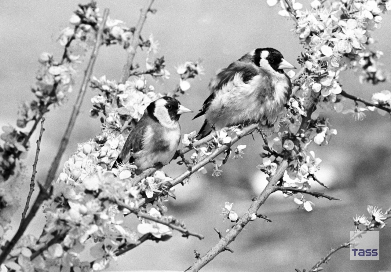 Birds resting on a flowering tree, photo by Rudolf Dik (1968) #spring#birds#1960s#nature#soviet union#soviet#ussr#russia#history#photography#vintage#retro #black and white