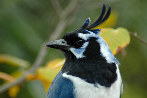 fairy-wren:  Black Throated Magpie Jay. Photo by mentaldragon